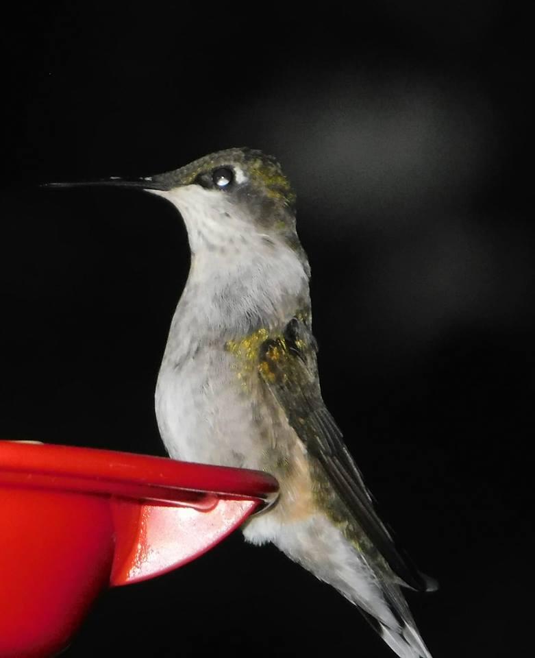 lisa berg - hummingbird
